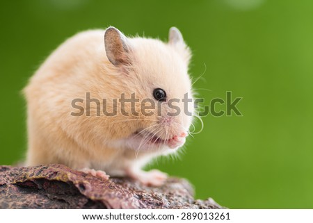 Grooming Golden Hamster. - stock photo