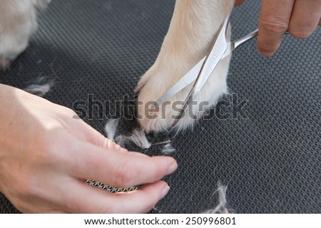 Grooming Golden Retriever dog. Closeup of trimming  paws by scissors. The dog is standing on a black table. - stock photo