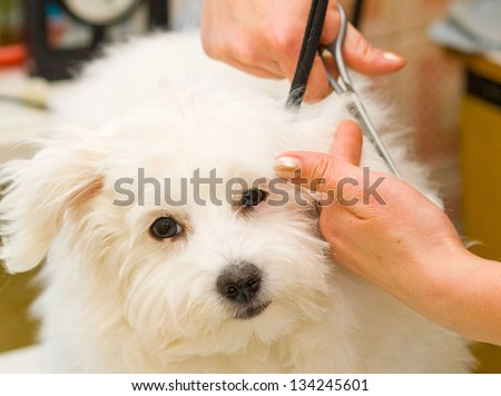 Grooming Maltese dog - stock photo