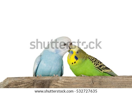 Grooming Parakeets on White Background