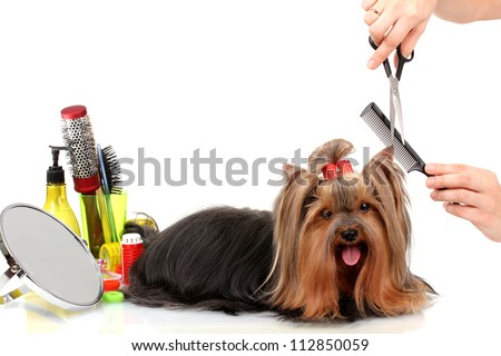 Grooming the yorkshire terrier isolated on white - stock photo