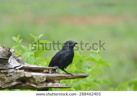 Groove-billed ani (Crotophaga sulcirostris) perched on an old tree trunk - stock photo