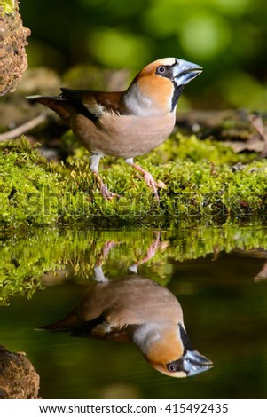 Grosbeak, brown songbird sitting in the water, in the nature of the habitat, spring nesting - stock photo