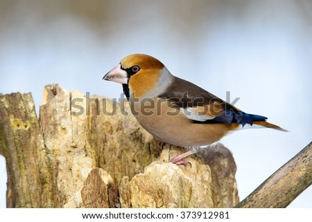 Grosbeak sitting on a tree searching for food in the winter - stock photo