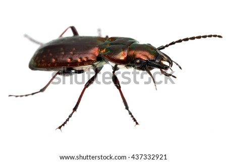 Ground beetle isolated on white. - stock photo