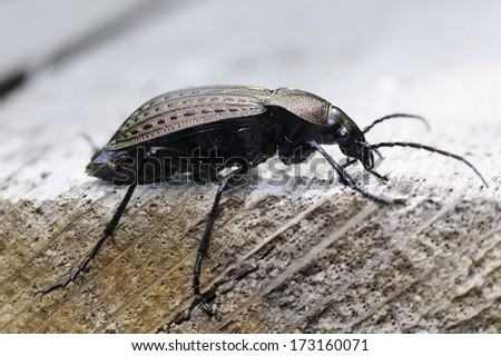 ground bettle close-up  / Carabus cancellatus - stock photo