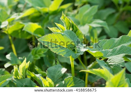 Ground-elder or Goutweed - wild edible and medicinal perennial grass.  L. Aegopodium podagraria