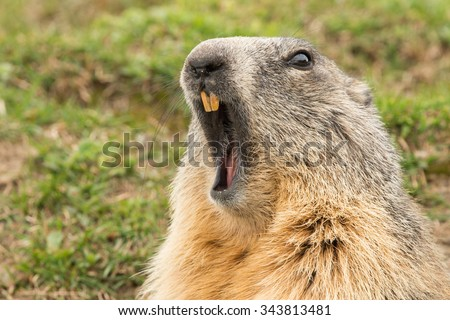 ground hog marmot day close up portrait while yawning - stock photo