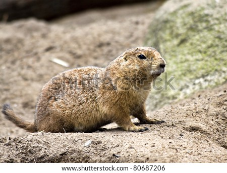 Ground hog (prairie dog)