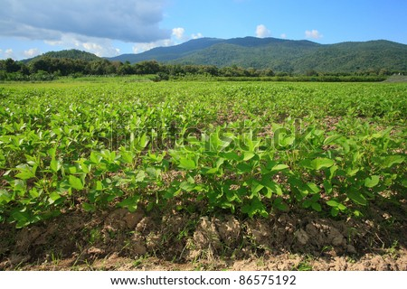 ground nut in farm with nice hill and blue sky background. - stock photo