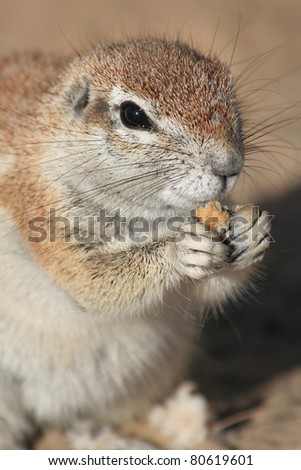 Ground squirrel feeding close up