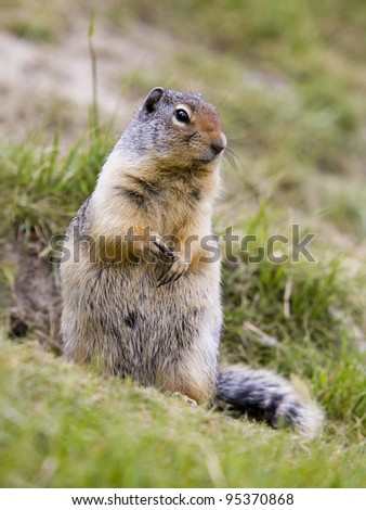 Ground squirrel found near Two Jack Lake in Banff National Park. - stock photo