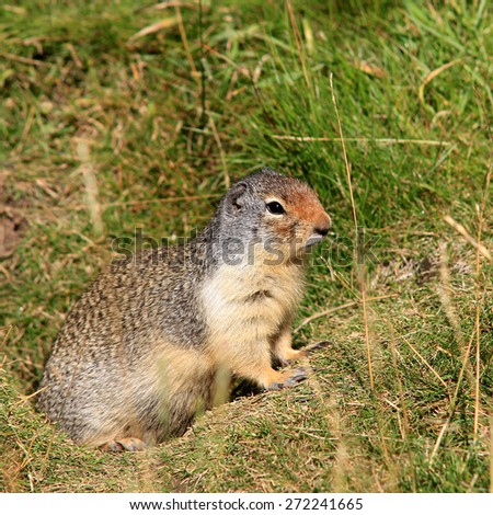 Ground squirrel in the grass near its hole - stock photo
