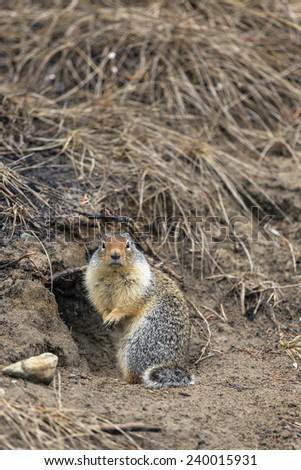Ground Squirrel Near Tunnel - stock photo