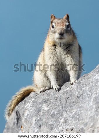 Ground squirrel or Golden Mantled Ground Squirrel Canada - stock photo