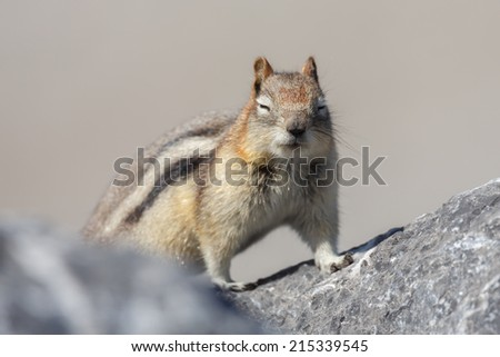 Ground squirrel or Golden Mantled Ground Squirrel Canada
