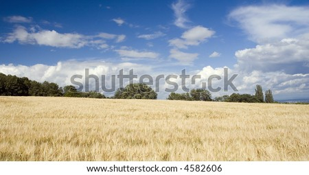 Ground with golden corn and blue sky