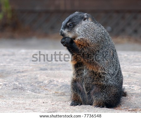 Groundhog standing on hind legs on barren ground feeding himself.