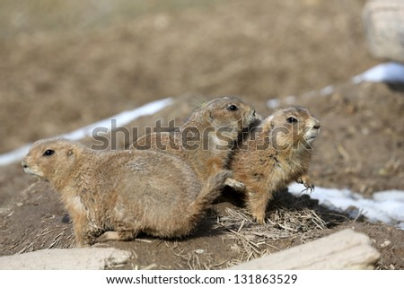 groundhogs - stock photo