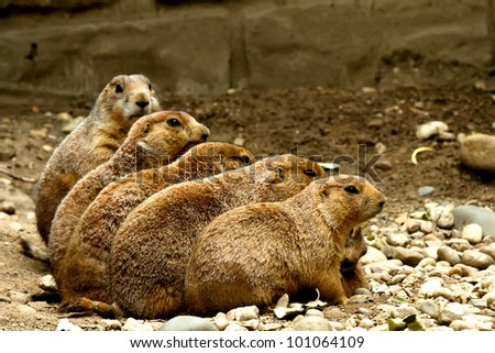 Groundhogs sitting in a row