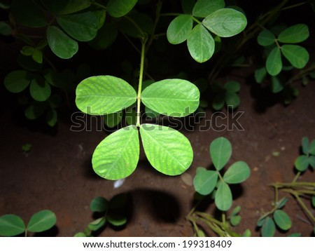 Groundnut leaves