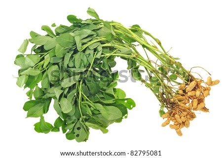 Groundnut Plants With Nuts Attached To The Roots - stock photo