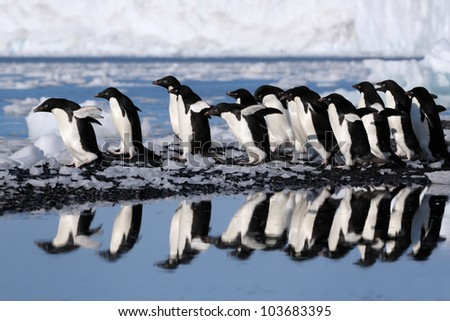 Group Adelie Penguins going to the water. - stock photo