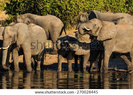 Group and baby elephant drinking river Chobe Botswana Africa. Adorable and cute scene. - stock photo