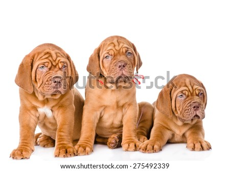 Group Bordeaux puppy dog  in front view. isolated on white background - stock photo