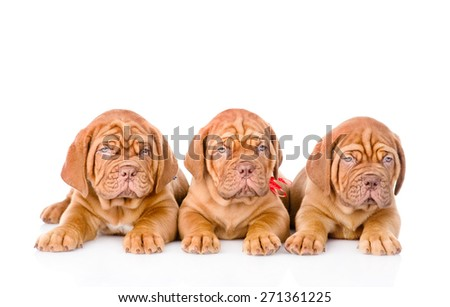 Group Bordeaux puppy dog lying in front. isolated on white background - stock photo
