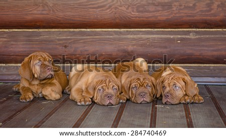 Group Bordeaux puppy dog lying in front view near wood wall - stock photo