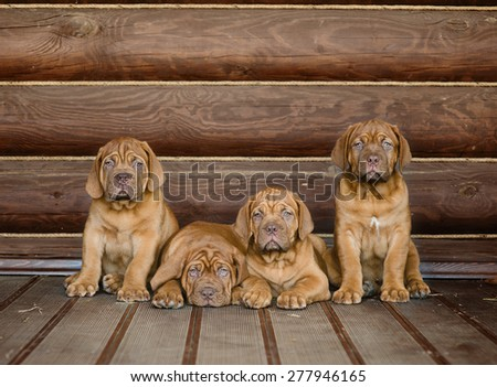 Group Bordeaux puppy dog sitting in front view near wood wall - stock photo