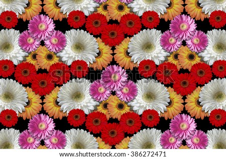 Group colored flowers large daisies on a black background  - stock photo