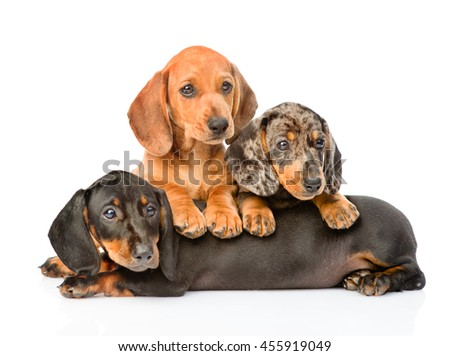 Group Dachshund dogs lying together. isolated on white background