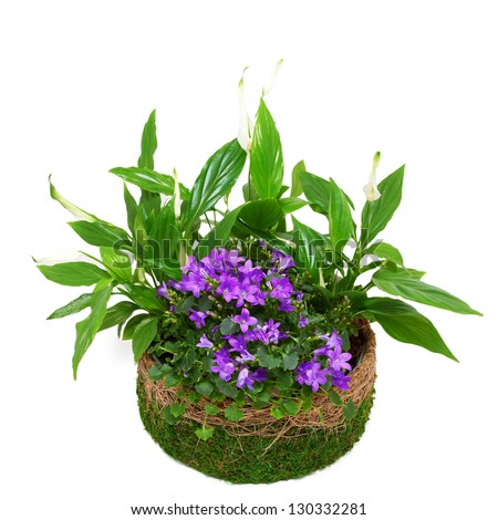 Group houseplants in a wicker pot decorated with moss. Isolated on white background. - stock photo