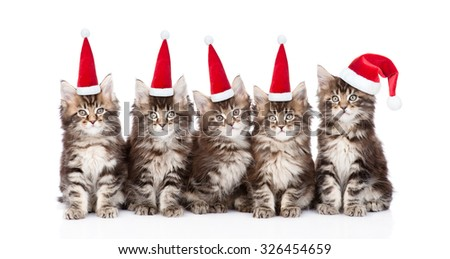 group maine coon kittens in red santa hats. isolated on white background - stock photo