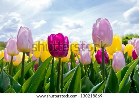 Group multicolored tulips against the sky. Spring landscape. - stock photo