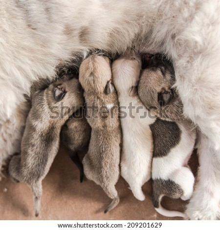group new born dogs eating milk  - stock photo