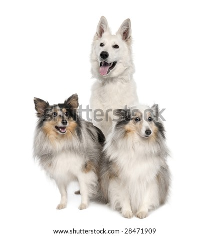 group of a White Shepherd Dog and two shelties in front of a white background - stock photo