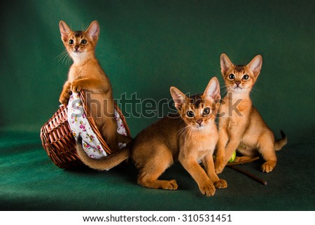 group of abyssinian cats on dark green background. - stock photo