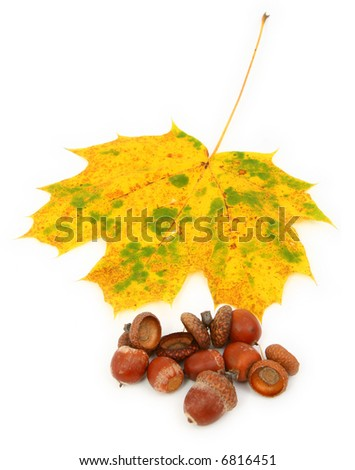group of acorns and maple leaf against white background, gentle shadow underneath, focus set on the leaf