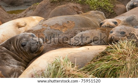 Group of adolescent Elephant Seals, moulting, Maquarie Island. - stock photo