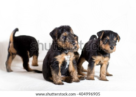 Group of adorable Airedale terrier puppy  - stock photo
