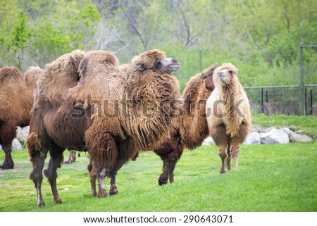 Group of adult bactrian camels on zoo