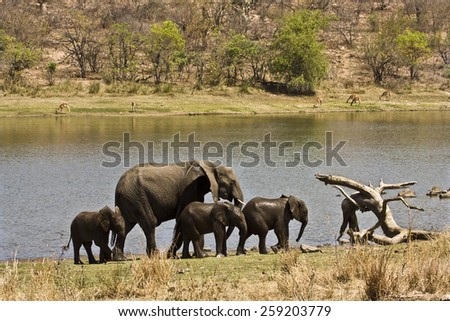 Group of african elephant in Kruger national park, South Africa - stock photo
