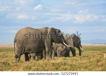 Group of African elephants  (Loxodonta africana)  ,two females with calves, Kenya