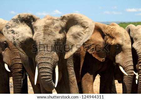 group of African elephants standing together - stock photo