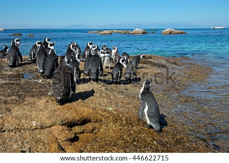 Group of African penguins (Spheniscus demersus) sitting on coastal rocks, Western Cape, South Africa