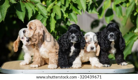 group of american cocker spaniel puppies outdoors - stock photo