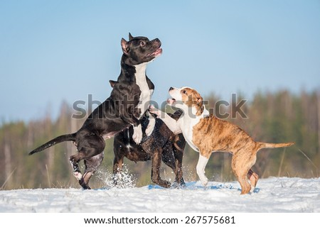 Group of american staffordshire terrier dogs  playing in winter - stock photo